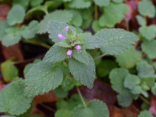 Herbal Wisdom From the Backyard – Purple Dead Nettle