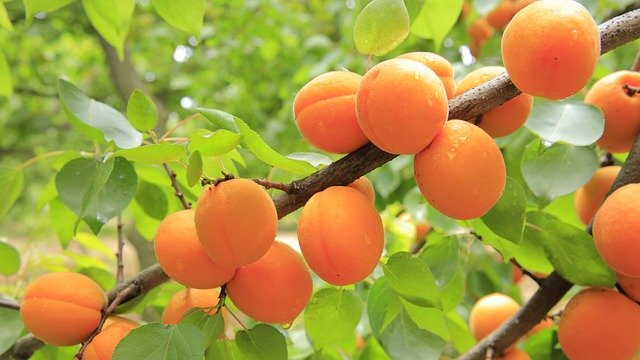 Apricots are Awesome!